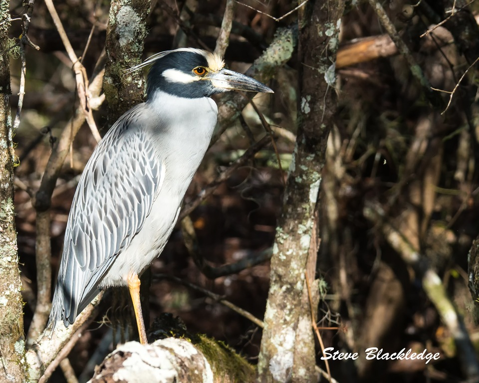Steve Blackledge captures a handsome Yellow-crowned Night-Heron