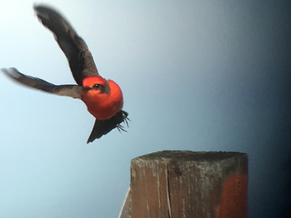 Vermillion Flycatcher by Joan Tague